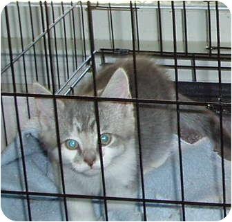 Domestic Shorthair Kitten for adoption in Westfield, Massachusetts - Gray kitten