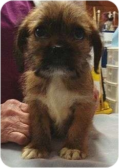 Shih Tzu/Chihuahua Mix Puppy for adoption in Harrisonburg, Virginia - Murphy