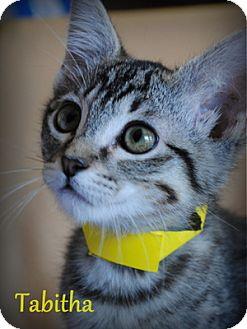 Domestic Shorthair Kitten for adoption in Weatherford, Texas - Tabitha