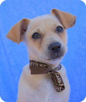 Chihuahua Mix Puppy for adoption in Thousand Oaks, California - Tully