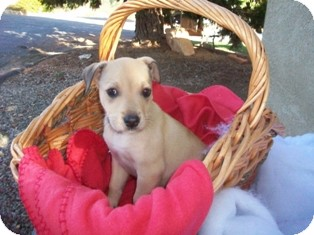 Shepherd (Unknown Type)/Labrador Retriever Mix Puppy for adoption in Tustin, California - Sparky