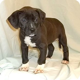 Labrador Retriever Mix Puppy for adoption in Bel Air, Maryland - Spirit
