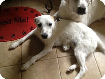 Jack Russell Terrier Dog for adoption in Greenville, South Carolina - Rocky