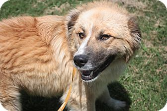 Great Pyrenees Mix Dog for adoption in Stilwell, Oklahoma - Warner