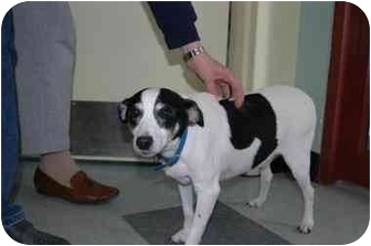 Jack Russell Terrier Mix Dog for adoption in Warwick, Rhode Island - Andy: Darling Jack Russell