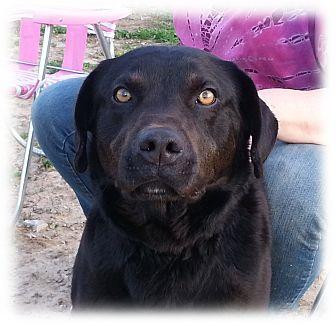 Labrador Retriever Dog for adoption in Huntingburg, Indiana - Becker