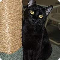American Shorthair Cat for adoption in Jackson, Mississippi - Biscuit