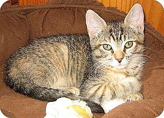Domestic Shorthair Kitten for adoption in Bulverde, Texas - Cheetah
