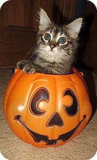 Domestic Shorthair Kitten for adoption in union, Missouri - Mulan