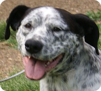 German Shorthaired Pointer/Pointer Mix Dog for adoption in Hagerstown, Maryland - Happy