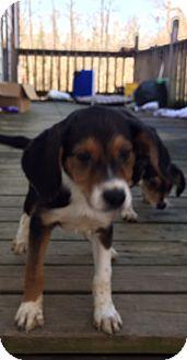 Beagle/Border Collie Mix Puppy for adoption in Spring Valley, New York - Wyatt
