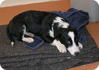 Border Collie/Corgi Mix Puppy for adoption in Phelan, California - Ranger