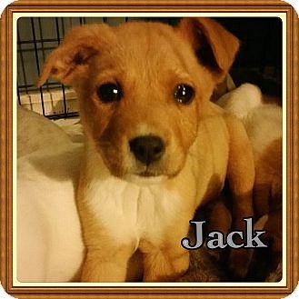 Blue Heeler/Terrier (Unknown Type, Medium) Mix Puppy for adoption in Haggerstown, Maryland - Jack