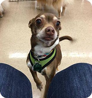 Chihuahua Dog for adoption in Norman, Oklahoma - Charlie III