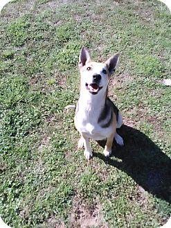 Shepherd (Unknown Type) Mix Dog for adoption in Sand Springs, Oklahoma - Patty