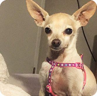 Chihuahua/Rat Terrier Mix Dog for adoption in Kirkland, Washington - Lola & Jerry - Sweet Senior Pa