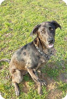 Great Dane Mix Dog for adoption in Norwood, Georgia - Liza