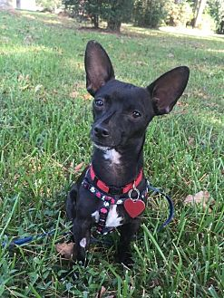 Chihuahua/Dachshund Mix Dog for adoption in Tomball, Texas - Buddy