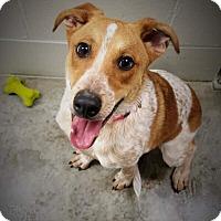 Adopt A Pet :: Bindi - Paducah, KY