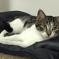 Adopt A Pet :: Tabby Talker - Woodinville, WA