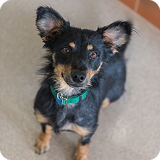 Dachshund/Yorkie, Yorkshire Terrier Mix Dog for adoption in Kanab, Utah - Prosperity