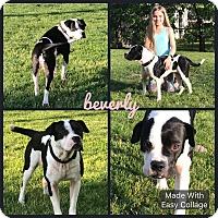 Adopt A Pet :: Beverly - Garden City, MI