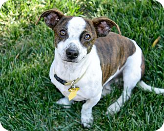 Dachshund/Jack Russell Terrier Mix Dog for adoption in Bellflower, California - Kevin