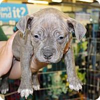 Adopt A Pet :: LINZY - Las Vegas, NV