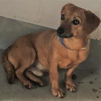 Adopt A Pet :: Adrian - Visalia, CA