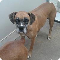 Adopt A Pet :: Louise - Austin, TX