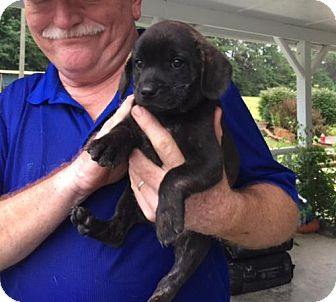 Beagle Mix Puppy for adoption in Chantilly, Virginia - Lola the Beagle Pup 3