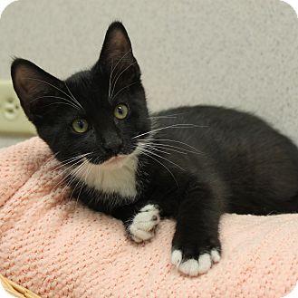 Domestic Shorthair Kitten for adoption in Naperville, Illinois - Russell