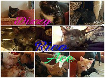 Domestic Shorthair Kitten for adoption in Randolph, New Jersey - Dizzy