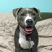 Adopt A Pet :: Zeus - Manchester, CT