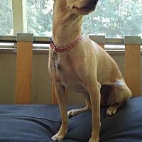 Adopt A Pet :: Nina - West Springfield, MA