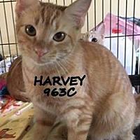 Adopt A Pet :: Harvey - Spring, TX