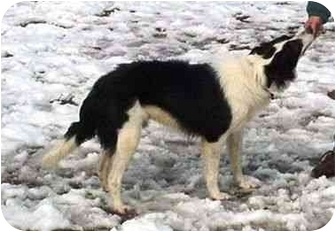 Border Collie Dog for adoption in Tiffin, Ohio - Leroy-ADOPTED!