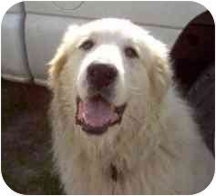 Great Pyrenees Dog for adoption in Kyle, Texas - Sammy