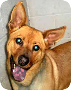 Australian Kelpie Mix Dog for adoption in Jacksonville, Florida - Roxy