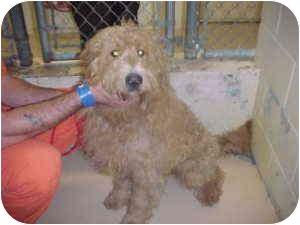 Poodle (Standard)/Labrador Retriever Mix Dog for adoption in Gladwin, Michigan - Lab/Poodle Mix