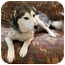 Photo 1 - Husky Mix Dog for adoption in Little Falls, Minnesota - Buddy