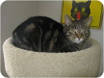 Domestic Shorthair Cat for adoption in Norwalk, Ohio - Tigger