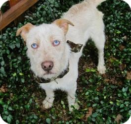Jack Russell Terrier/Catahoula Leopard Dog Mix Dog for adoption in Baton Rouge, Louisiana - Tator Tot