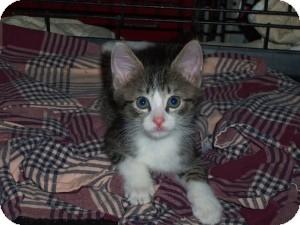 Domestic Shorthair Kitten for adoption in Raritan, New Jersey - Maize