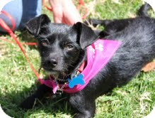 Terrier (Unknown Type, Small) Mix Dog for adoption in Santa Monica, California - Phoenix