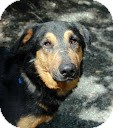 Shepherd (Unknown Type) Mix Dog for adoption in Tinton Falls, New Jersey - Pablo