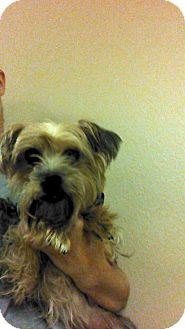 Yorkie, Yorkshire Terrier Mix Dog for adoption in Oviedo, Florida - Mikey