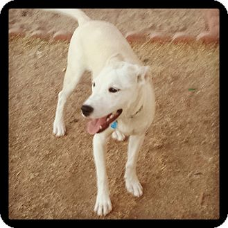 Whippet/Pit Bull Terrier Mix Puppy for adoption in Phoenix, Arizona - Brady