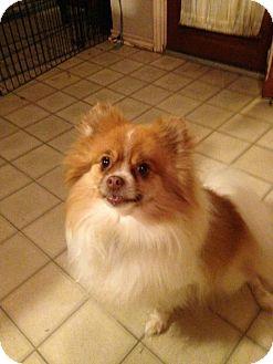 Pomeranian Dog for adoption in conroe, Texas - NICO