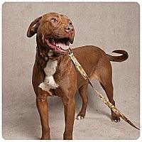 Labrador Retriever Mix Dog for adoption in Stone Mountain, Georgia - Chocolatte